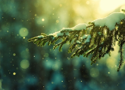 christmas-nature-photography-pine-tree-pretty-Favim_com-323337